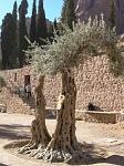 Оливковые деревья в монастыре Святой Екатерины, им около 2000 лет !!!